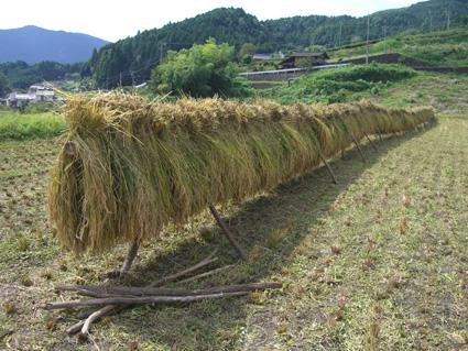 稲刈り013.jpg